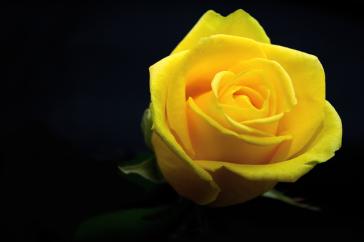 rose-3089663_640